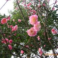 红梅(温江花农花木)