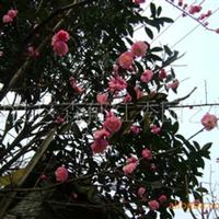 红梅(温江花农花木)厂