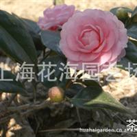 专供别墅庭院绿化苗木 有茶花、桂花、日本红枫、樱花、海棠等