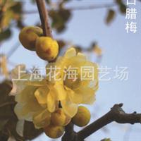 专供别墅庭院绿化苗木 有馨口腊梅、桂花、日本红枫、樱花等厂