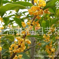 供金桂、银桂、丹桂、金球桂、红枫、樱花等别墅庭院绿化苗木