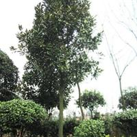 商家现货供应出售大量优质品种广玉兰