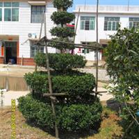 产地直销大量优质工程专用苗木七里香