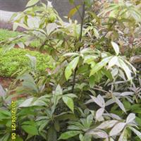 商家专业栽培出售稀有品种优质金丝楠木