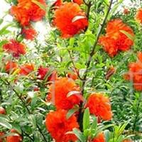 大量销售石榴苗、牡丹花石榴苗。