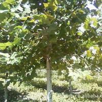 本苗圃现有胸径40-65cm造型法桐2年冠60棵待售
