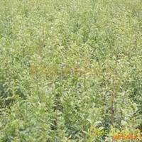 泰安石榴苗非常抢手,果石榴苗1.1元,花石榴1.2元。