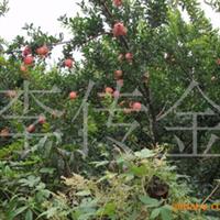 供果树苗、石榴苗、各种石榴苗、2-3公分石榴树、石榴苗。厂