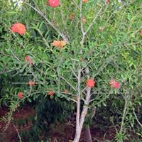 供果树苗、石榴苗、各种石榴苗、2-3公分石榴树、石榴苗。
