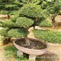 现货低价出售四季常绿灌木榆树