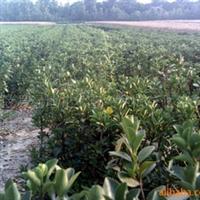 供应出售大叶黄杨,全国较低价,质量有保证