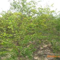 大量出售优质1-8公分绿梅树