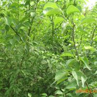 大量出售优质1-8公分绿梅树厂