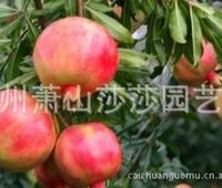 供应各种规格优质石榴树