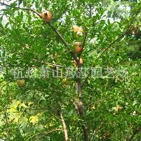 供应各种规格优质石榴树厂