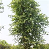 大量供应6~40公分朴树