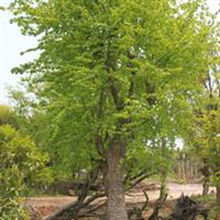 供应绿化苗木 三角枫20~45公分 树高4~15