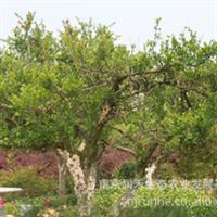 供应绿化苗木 果树 石榴8~12公分厂