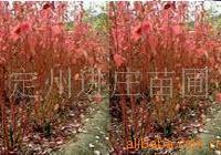 红瑞木 多分枝红润木 定州红瑞木 红润木