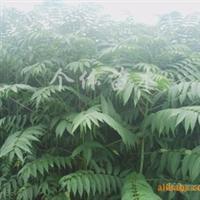 专业供应香椿树苗