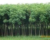 绿化苗木 大量供应杜仲苗