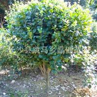 供应蓬径150-180-200cm精品山茶花