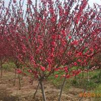 园林绿化苗木红叶碧桃,供应红叶碧桃