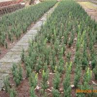 供应曼地亚红豆杉小苗