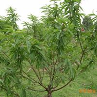 供应优质桃树苗,陕西桃树苗,批发桃树苗,占地桃树苗,果树苗木