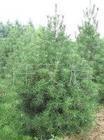 供应白皮松,绿化苗木,白皮松园林苗木
