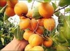 优质杏苗,陕西杏苗,批发供应杏苗,杏苗,果树苗木