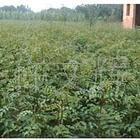 供应优质花椒苗,陕西花椒苗,批发花椒苗,花椒苗