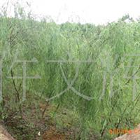 园林绿化苗木,优质柳树苗,陕西批发柳树苗,柳树苗,柳树