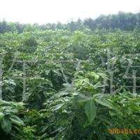 优质七叶树,批发七叶树,七叶树,供应米经2公分七叶树,绿化苗木