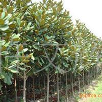 供应批发广玉兰,优质广玉兰,米经2公分广玉兰,绿化苗木