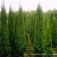 园林绿化苗木,供应优质塔柏苗木,绿化塔柏苗木,1米塔柏苗木