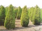 供应绿化苗木刺柏,荒山苗木刺柏,1米刺柏苗木