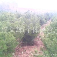 供应1-1.2米白皮松,供应优质园林绿化白皮松,行道树白皮松,