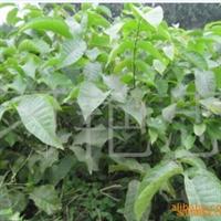 大量供应杏树苗厂