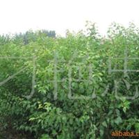 大量供应杏树苗