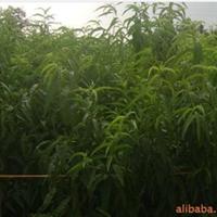 l供应高品质、高质量的  樱桃苗厂