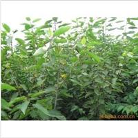 l商家供应质量可靠、优质的  樱桃苗