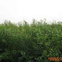 大量供应 杏树苗品质好 效益高 价格优惠厂