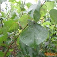 大量供应杏树苗 成活率高 效益好 价格低服务一流厂