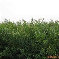 大量供应 杏树苗品质好 效益高 价格优惠