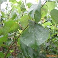 大量供应杏树苗 成活率高 效益好 价格低服务一流