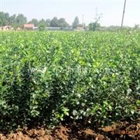 供应冬青球 优质绿化冬青 地被植物(图)