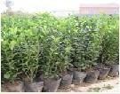 供应冬青球 优质绿化冬青 地被植物(图)厂