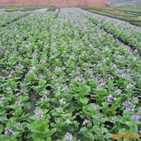 供应二月蓝、用于花丛、广场、花带、花镜、绿化带