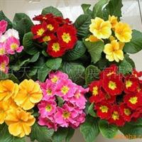 供应西洋樱草、用于花坛、花带、花丛、花境